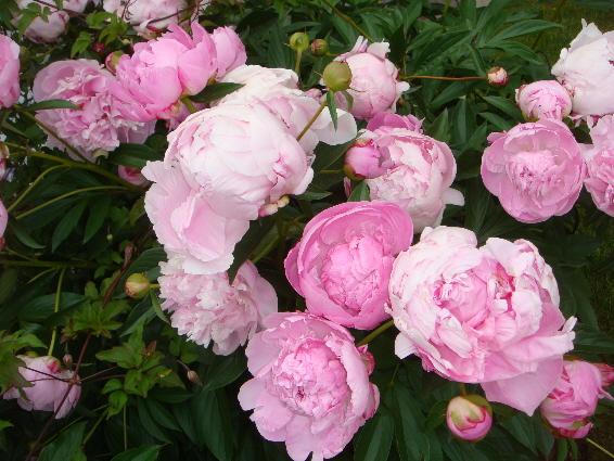 pink peony blossoms