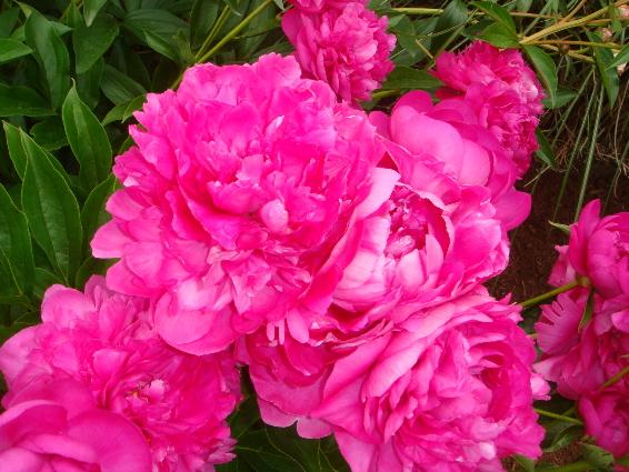 very pink peonies