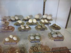 bird eggs display
