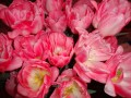 pink tulips close up