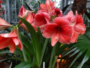 amarylis blossoms
